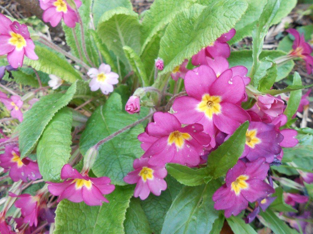 Fleur De Printemps Vivace