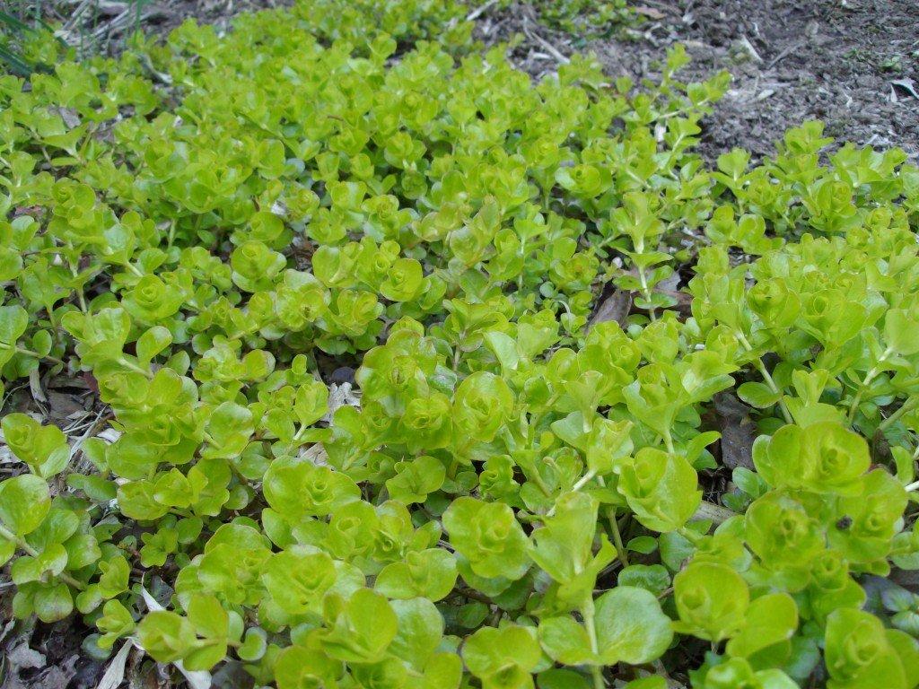Plantes vivaces couvre sol l 39 ombre images for Plantes vivaces couvre sol