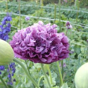 Le Pavot – Une Fleur Unique !