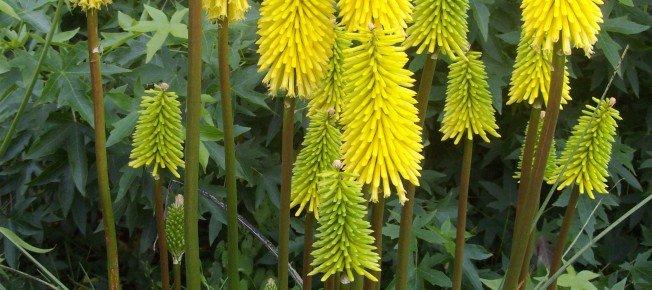 Au Jardin – Rudbeckia et Kniphofia «Bees Lemon»